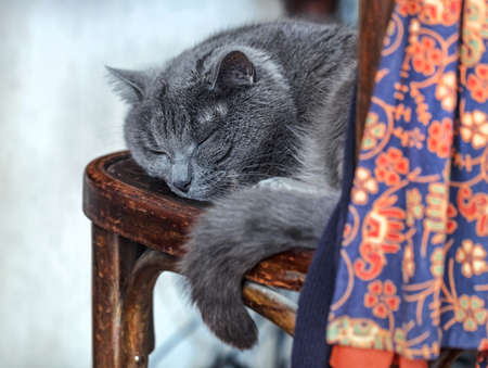 Grey sleeping adult cat on old chair Stock Photo