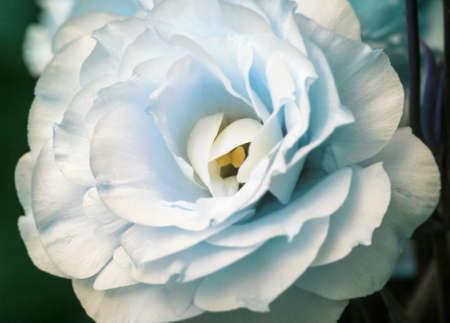 Tender fresh white eustoma flower large for present ans good mood in blue tones