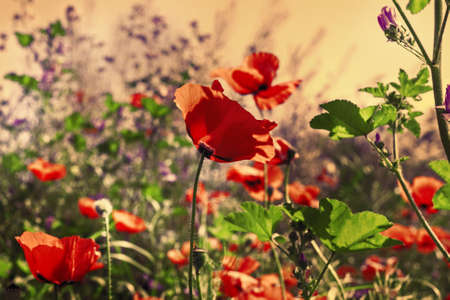 Pretty scarlet poppies in field with pink light Stock Photo