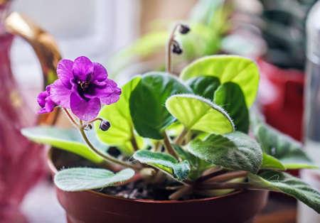 Pretty purple violet in pot at day