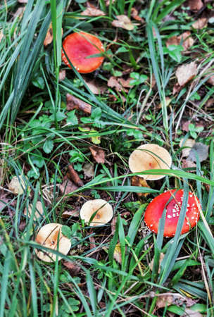 Bright poisonous mushrooms in green forest grass