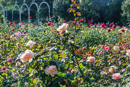Charming rose bushes in park on sunny morning
