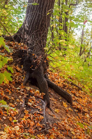 Roots of tree in bright autumn park Stock Photo