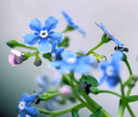 Prety soft forget-me-not flowers for present and charming feeling with good mood