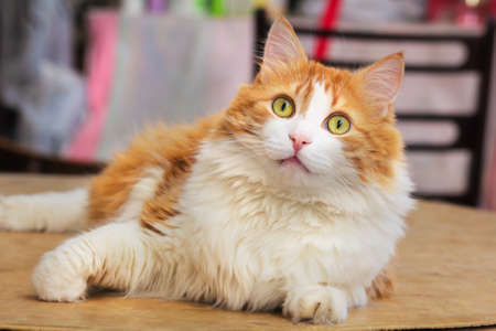 Admiring look of pretty adult red cat