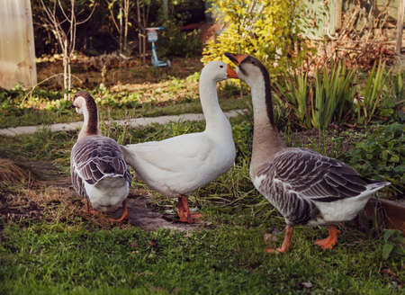 Three geese in garden, one white, two grey