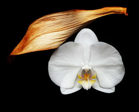White orchid flower and dry leaf on dark background