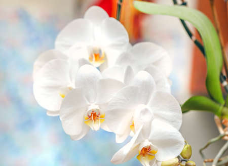 Charming blooming branch of pretty white orchid