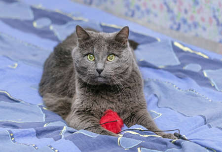 Adult pretty grey cat with red toy