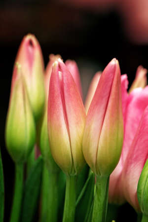 Tender amazing bouquet of pink tulip buds