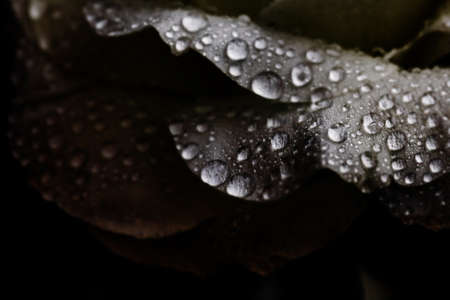 Water drops on tender white petals in dim light