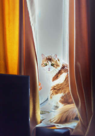 Pretty adult red cat in window between yellow curtains Stock Photo