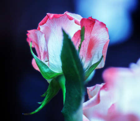 Big pink rose turned away on dark blue background Imagens