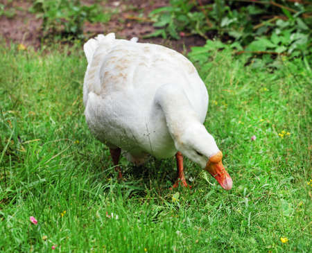 Pretty adult white goose in green grass Stock Photo