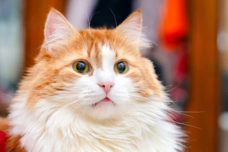 Portrait of adult beautiful red cat with yellow eyes