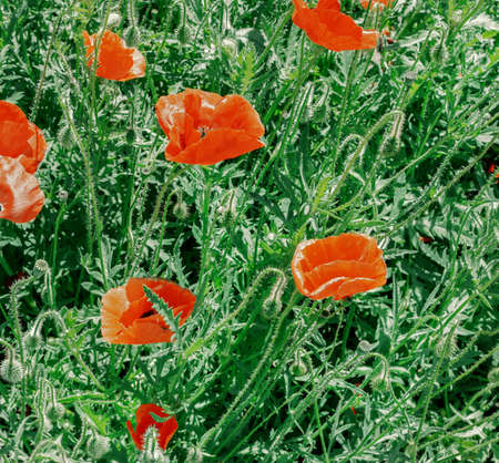 Pretty flowers of red poppies in green field at sunny day