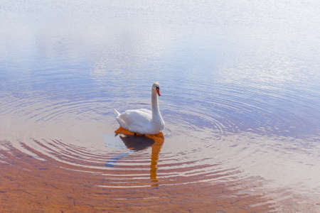 Pretty white swan and circles on water at sunny day Stock Photo