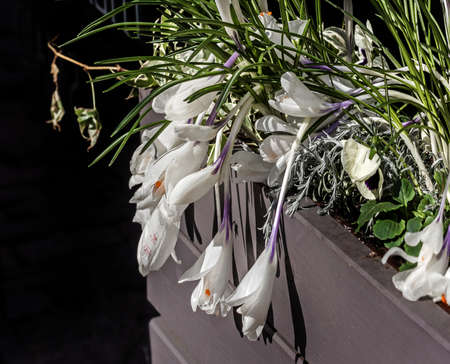 Pretty white crocuses in pots at sunny spring day Stock Photo