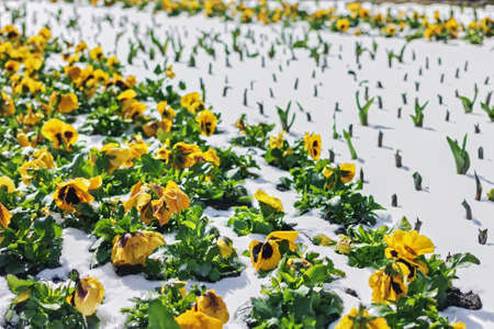 Yellow pretty pansies in snow at sunny day
