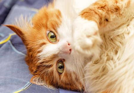 Portrait adult pretty red cat in shock