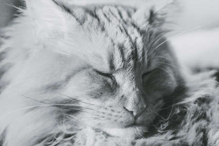 Portrait of adult charming slumbering maine coon in black and white sepia