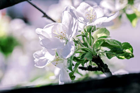 Pretty white apple blossoms at sunny day and happy weather