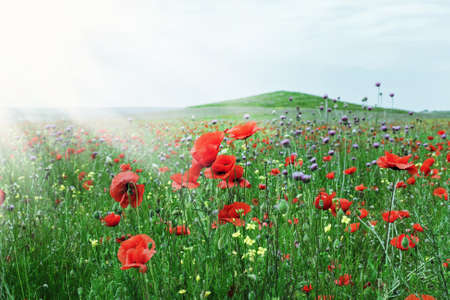 Pretty scarlet poppies in field sunny weather Stock Photo