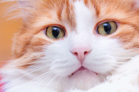 Large portrait of adult pretty red cat Stock Photo