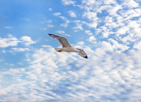Charming adult seagull in blue sky and white clouds Stock Photo