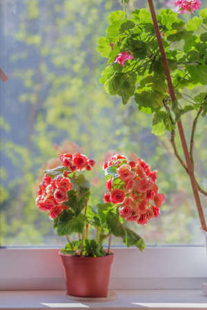 Pretty red begonia on window at sunny weather
