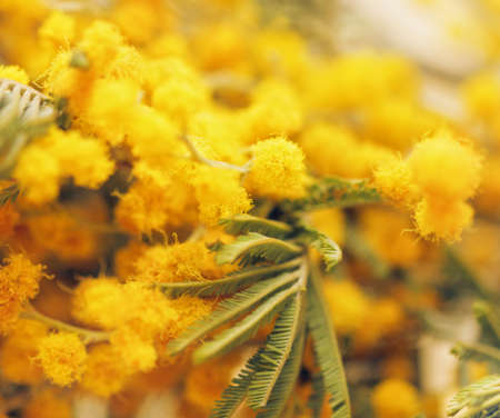 Closeup pretty spring tender yellow balls of mimosa for happy mood