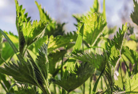 Spring real young nettle leaves at sunny day