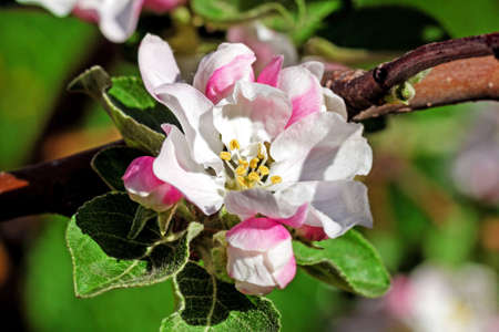 Pretty spring apple blossom at sunny happy day