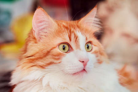 Portrait of pretty adult surprised red cat