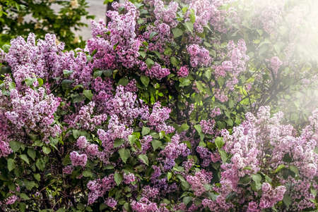 Nice lush purple lilac bushes at day