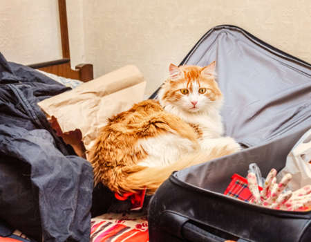 Pretty real adult red cat in grey big room suitcase