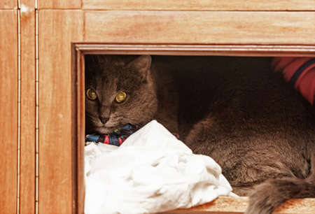 Pretty adult gray cat in wooden closet Stock Photo
