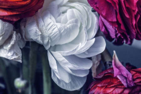 Great beauty white withering Ranunculus for solemn and unforgettable moments Stock Photo