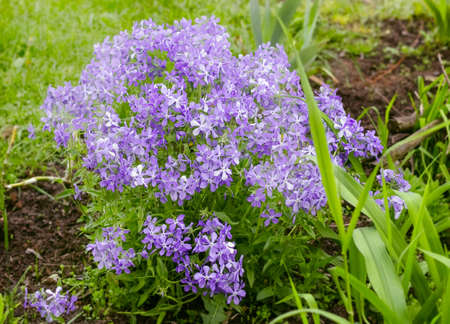 Phlox spread lilla pretty flowers in garden