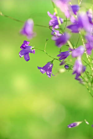 Pretty purple flowers of field bluebells on green summer background