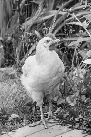 Adult white chicken on path at summer day black and white