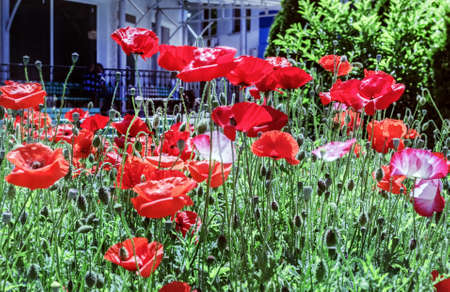 Pretty scarlet poppies in city at sunny weatherday