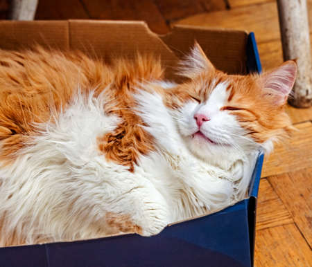 Pretty adult white and red cat sleeps in blue box