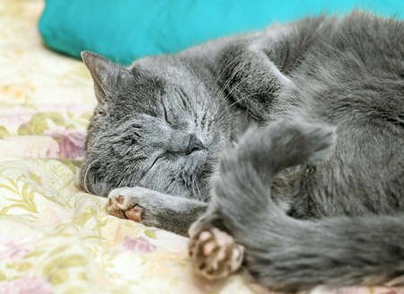 Pretty adult sleeping gray cat on home bed