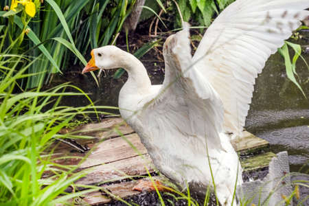 Adult white goose with wings out of water at summer day