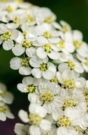 Pretty fresh white flowers of yarrow large