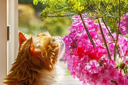 Pretty adult red cat sniffing flowers in sunny morning