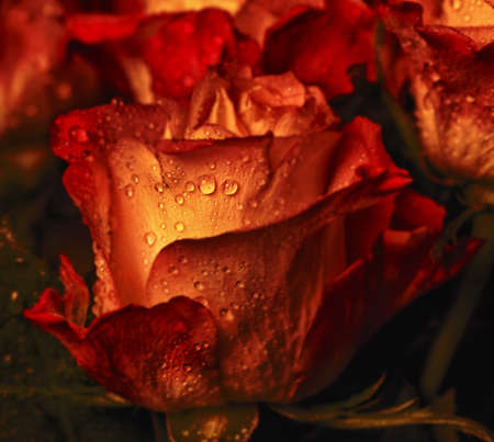 Amazing red-orange rose with soft water drops Standard-Bild