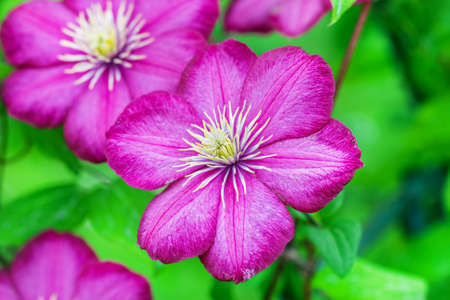 Pretty purple clematis flower on green background at sunny day