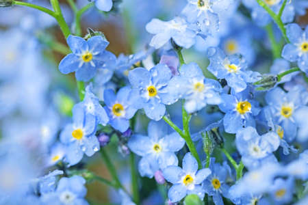 Pretty flowers blue forget-me-nots for good memories